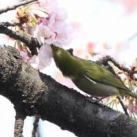 埼玉県川口市にある埼玉県花と緑の振興センターには、メジロが来ていました