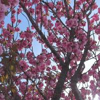 羽根谷だんだん公園の八重桜