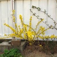 春が咲(わら)う
