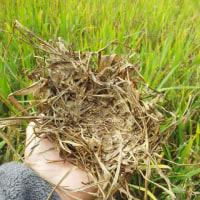 ヒクイナの巣