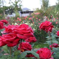 紅葉と秋バラ・ダリアをごゆっくりお楽しみ