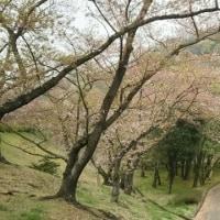 ほぼ葉桜になりました。