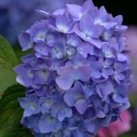 今年の紫陽花(2017)