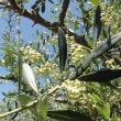 そろそろオリーブの開花