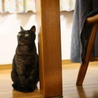 チクワ(めす猫)