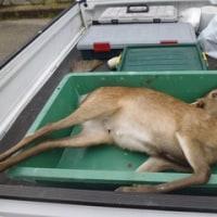 5月31日有害鳥獣捕獲「鹿」