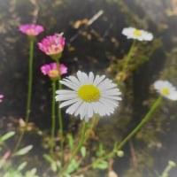 春菊(ハルジオン)