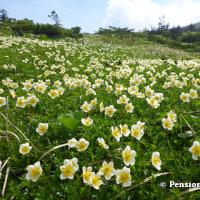 登山道のお花が見頃をむかえます