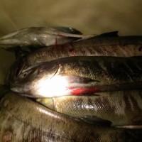 魚野川遡上の鮭のさつま揚げ