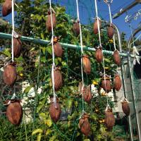 ◆干し柿、完成。