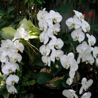 楽しい園芸 胡蝶蘭