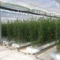 次世代の「フィルム栽培」 トマト栽培