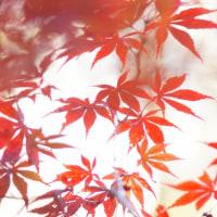 紅葉 (花 4113)