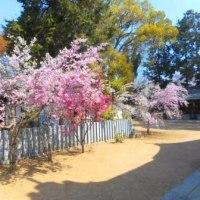 桜、まだ見れます