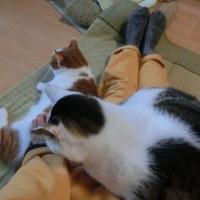 にゃん2016/12/1(日)ベッドで膝のりヨモ
