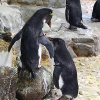 イワトビペンギンの亜成鳥2