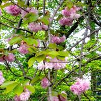 「写真&俳句!」 透きとほる空の青さや遅桜