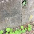 オサンポ walk - スキマ草 : 壁の穴 a hole of the wall