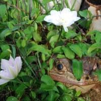 庭のカエルの近くでテッセンが咲きはじめました