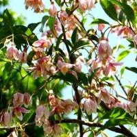メモ帳733ページ目 エゴノキの花はそろそろ見納めです