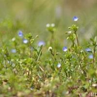 またもや小さな花たち..わち山野草の森(1)