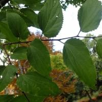 長野の木:エゾエノキ;鋸歯が少し鋭く、葉の基まで続いていることによります。