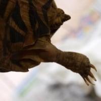 ホシガメの足の腫れ