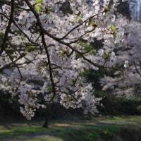 北広島町、橋山大歳神社の桜 2017