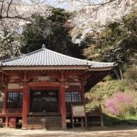 桂木観音の桜