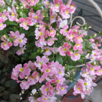 ネメシア・メーテルほの花