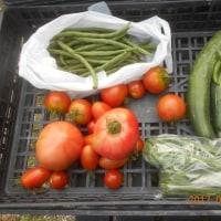 今日の収穫 トマト キュウリ インゲン ニラ オクラ
