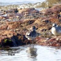 12/07探鳥記録写真-2(11月下旬に出会った鳥たち:ルリビタキ、ミヤマホオジロ、コウノトリほか)
