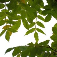この葉っぱの木は?