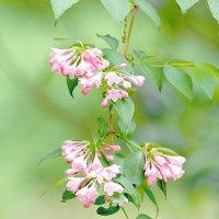 タニウツギの花。きょうの一句は「リラ」