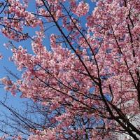 旧中川堤の河津桜