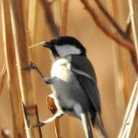 大堀川周辺の野鳥_シジュウカラ