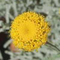 今日のサントリナの花。