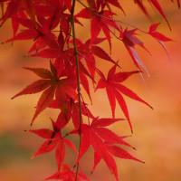 徳川園の紅葉