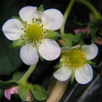 じゃがいも栽培、メークインも出芽してきた、苺の花を比べてみた