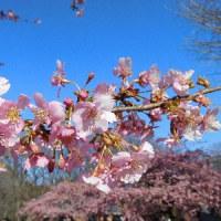 代々木公園(河津桜)