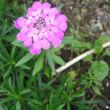 アスチルベ2種類・イベリス・糸葉春車菊