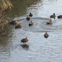 渋田川の水鳥