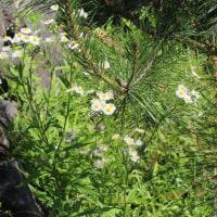 6月の白い雑草