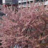 カメラ片手に 満開の桜、咲き始めたコブシ