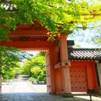 真如堂の菩提樹、紫陽花少しずつ