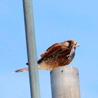 近場の探鳥
