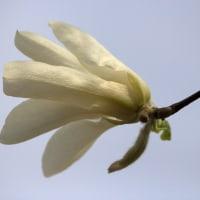 春の白い花をひとつ