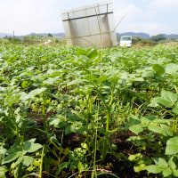ジャガイモの土寄せと芽かき