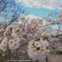 早足で 桜の公園 昼休み