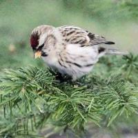 今日の鳥 キクイタダキ ベニヒワ エゾリス